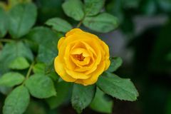 Yellow rose with green leaves blooming in garden stock image