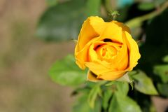Yellow rose with green leaves in the garden. royalty free stock photos