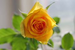 Yellow rose. Grown at home on the windowsill Royalty Free Stock Photography