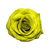 Yellow Rose head isolated on white stock photo