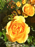 Yellow rose in hedge Stock Photo