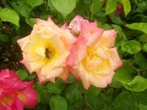 Hoverfly in rose 2 royalty free stock photos