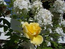 Yellow rose with Hydrangea royalty free stock photo