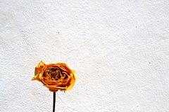 Yellow rose. Illuminated with natural light Royalty Free Stock Photo