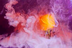 Yellow red rose pink purple blue violet inside water white background color acrylic underwater paint ink dye under smoke spring stock image