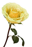 Yellow rose isolated Stock Image