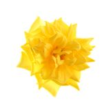 Yellow rose, isolated. Stock Photo