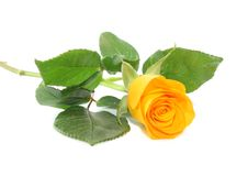 Yellow rose, isolated. Royalty Free Stock Image