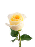 Yellow rose isolated. On white background Royalty Free Stock Image