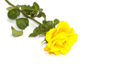 Yellow rose on the isolated background Stock Images