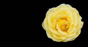 Yellow rose isolated on black backgroud with copy space Stock Images