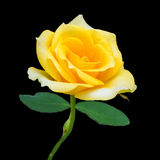 Yellow rose isolated on black Royalty Free Stock Images