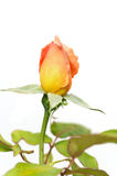 Yellow rose isolated. Close up Royalty Free Stock Image