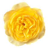 Yellow Rose Isolated. Lovely soft yellow rose, isolated on white.  Overhead view Royalty Free Stock Photo