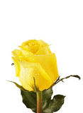 Yellow rose isolated over white Stock Photography