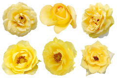 Yellow rose isolated. Set of yellow rose isolated Royalty Free Stock Photo