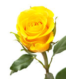 Yellow rose isolated stock images