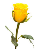 Yellow rose isolated Royalty Free Stock Image