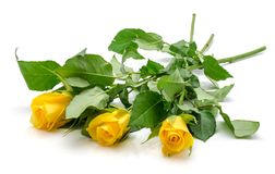 Yellow rose isolated. Three fresh cut yellow roses isolated on white background Stock Images