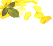 Yellow rose isolated on white Royalty Free Stock Images