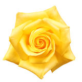 Yellow Rose isolated. On white Stock Image