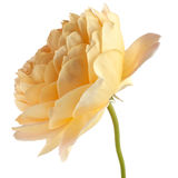 Yellow rose isolated on white background Royalty Free Stock Image