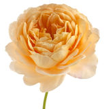 Yellow rose isolated on white background. Yellow rose (Golden Celebration) isolated on white background Royalty Free Stock Image