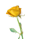 Yellow rose isolated on white background. Royalty Free Stock Photo