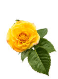 Yellow rose isolated Stock Photo