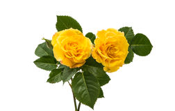 yellow rose isolated Stock Photos