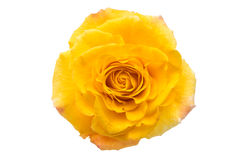 yellow rose isolated Royalty Free Stock Photography