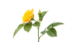 Yellow rose isolated. On white background Royalty Free Stock Photo