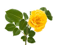 Yellow rose isolated. On white background Royalty Free Stock Photos