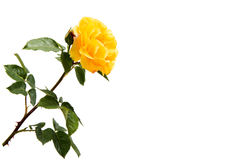 Yellow rose isolated. On white background Stock Photography