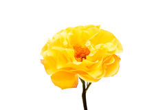 Yellow rose isolated. On white background Royalty Free Stock Photography