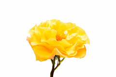 Yellow rose isolated. On white background Stock Image