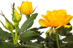 Yellow rose isolated on white background Stock Photos