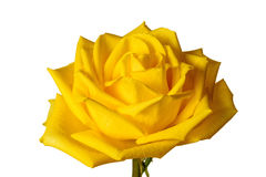 Yellow rose isolated on white background. Stock Photo