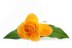 Yellow rose isolated on a  white background Stock Photos