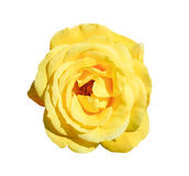 Yellow rose isolated on white background. Fully open gentle tea rose flower head isolated on white background. Tender yellow rose head close up Stock Photography