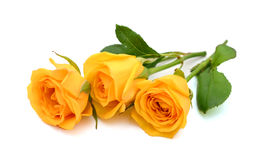 Yellow rose in isolated white. Yellow roses on a white background Royalty Free Stock Photography