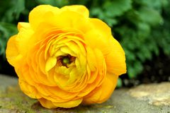 Yellow rose lays on cement royalty free stock image