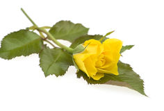 Yellow rose with leaf  isolated Stock Image