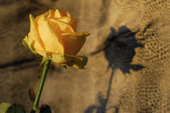 Yellow Rose on leather background Stock Image