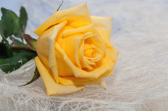 Yellow rose light background Stock Photo