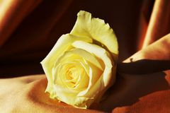 Yellow rose in the light. The image is interesting for the circular shapes made by the petals of the rose and the straight lines formed by the folds of the Royalty Free Stock Photo