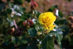 Single yellow rose in the garden with lighting. A yellow rose with lighting in the garden stock photography