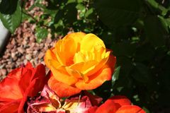 A yellow rose lives in Nevada. Roses do grow in the desert. An they are yellow Royalty Free Stock Photography
