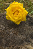 Yellow Rose On Log Stock Image
