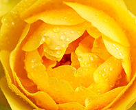 Yellow rose macro Royalty Free Stock Photo